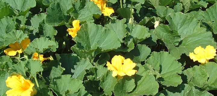 カボチャの花(8月頃の様子)