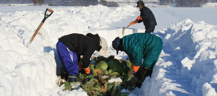 越冬キャベツの収穫